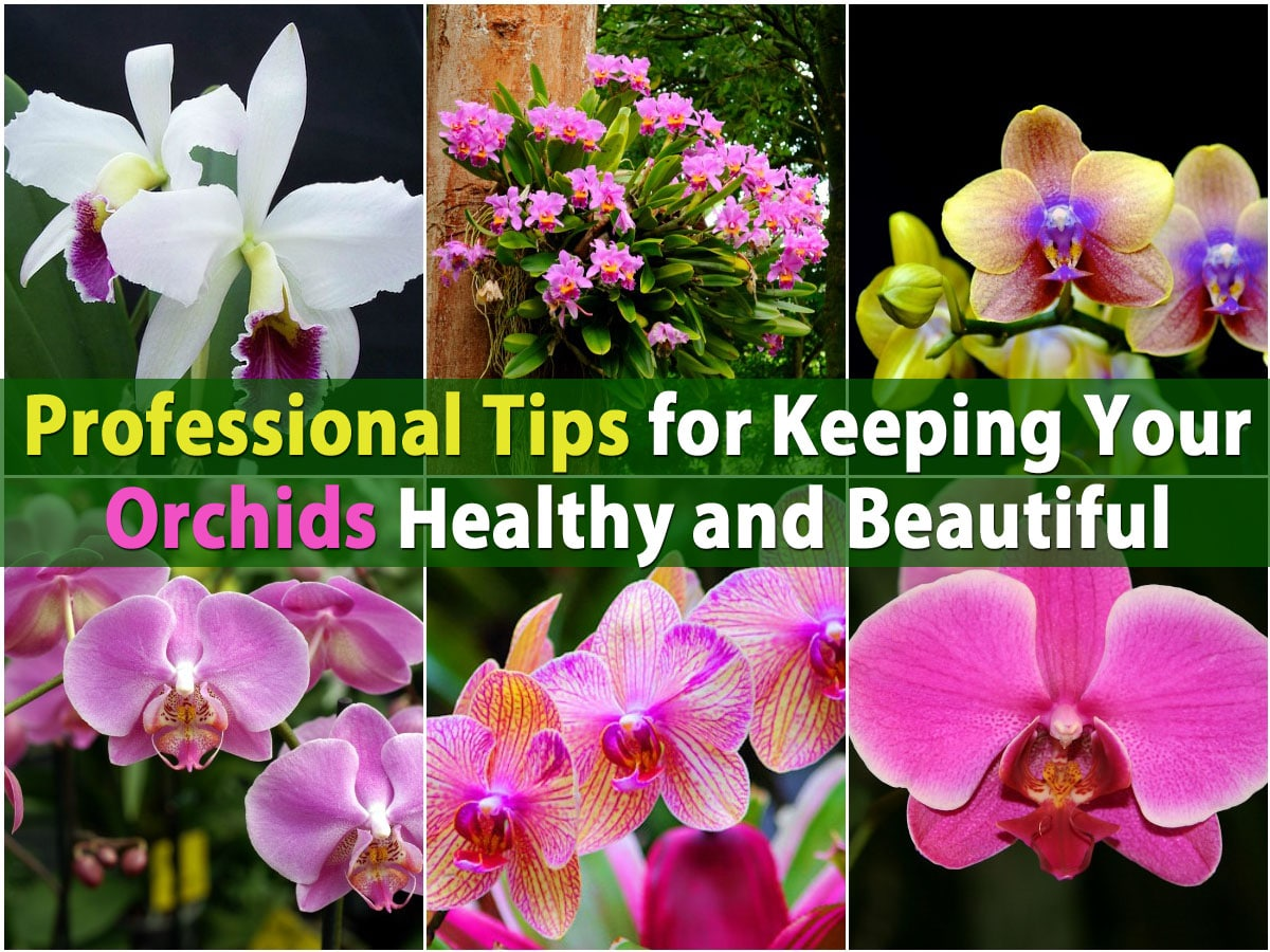 Professional Tips For Keeping Your Orchids Healthy And