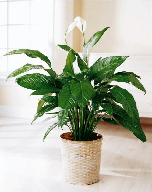 Peace Lily - Top 10 NASA Approved Houseplants for Improving Indoor Air Quality