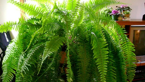 Boston Fern - Top 10 NASA Approved Houseplants for Improving Indoor Air Quality