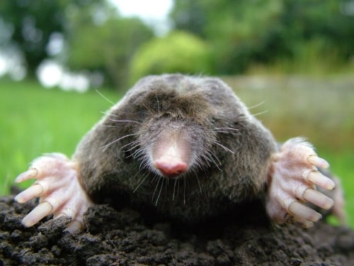 5. Repeal Moles in the Yard