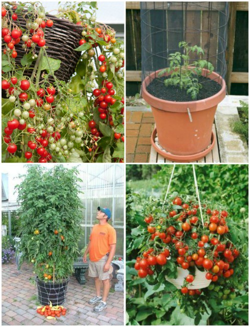 container vegetable garden. Tomatoes Container Vegetable Garden E