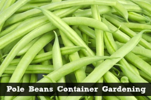 how to grow pole beans in a pot