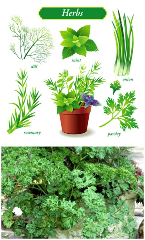 Parsley grows very well in containers