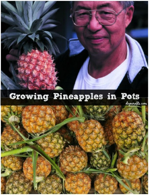 The 35 easiest container and pot friendly fruits for How to plant a pineapple top in a pot