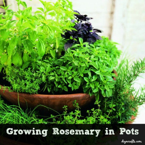 Having An Herb Garden Doesnu0027t Actually Mean Having A Large Garden Space.  You Can Grow Many Herbs In Containers And Rosemary Is One That Does Very  Well With ...