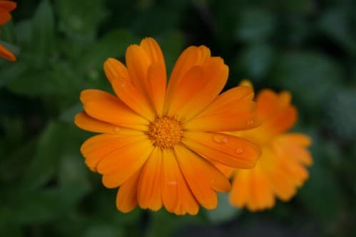 13-marigold