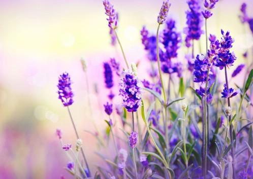 2-lavender