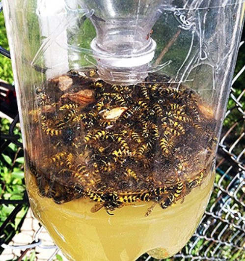 Easy homemade wasp trap.