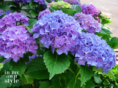 Turn hydrangeas blue or pink.
