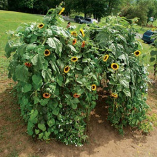 "Grow a sunflower ""playhouse"" for your kids."