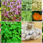 14 Healing Herbs to Plant in Your Herb Garden – They're Tasty and Medicinal!