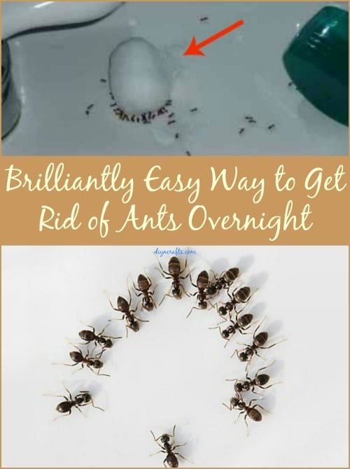 Brilliantly Easy Way to Get Rid of Ants Overnight - DIY & Crafts