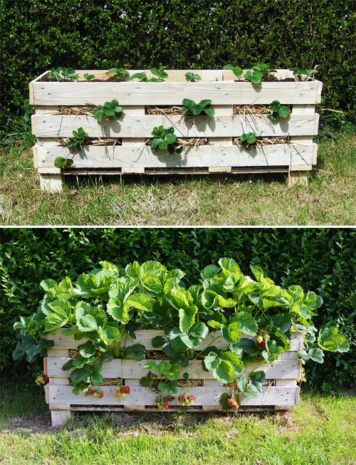 How To Turn Pallets Into Strawberry Pallet Planters {Brilliant Gardening Project}