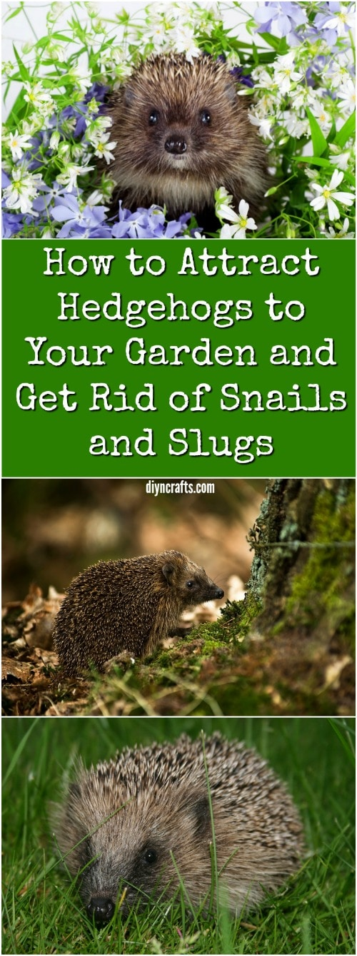 How to attract hedgehogs to your garden and get rid of - How to get rid of slugs in garden ...