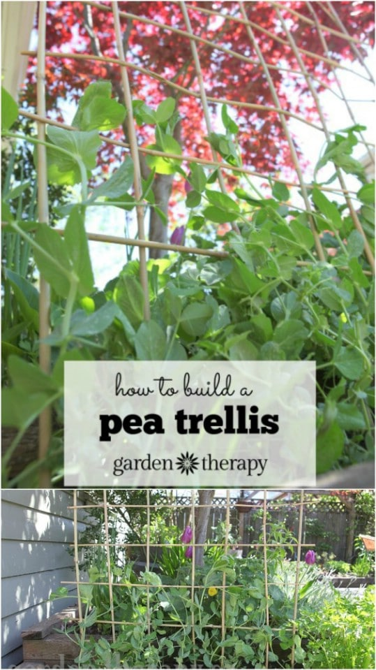 Diy Garden Trellis Ideas Part - 49: DIY Bamboo Pole Pea Trellis