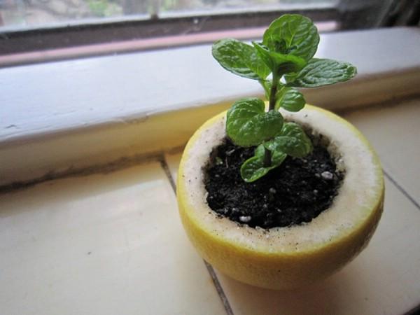 Citrus Peel Seed Starter Pods