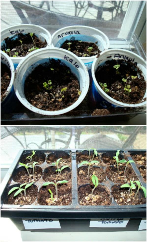 Mini Yogurt Cup Seed Starters