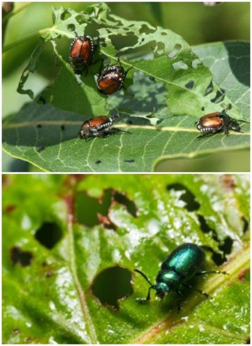 Non-Toxic Garden Bug Killer
