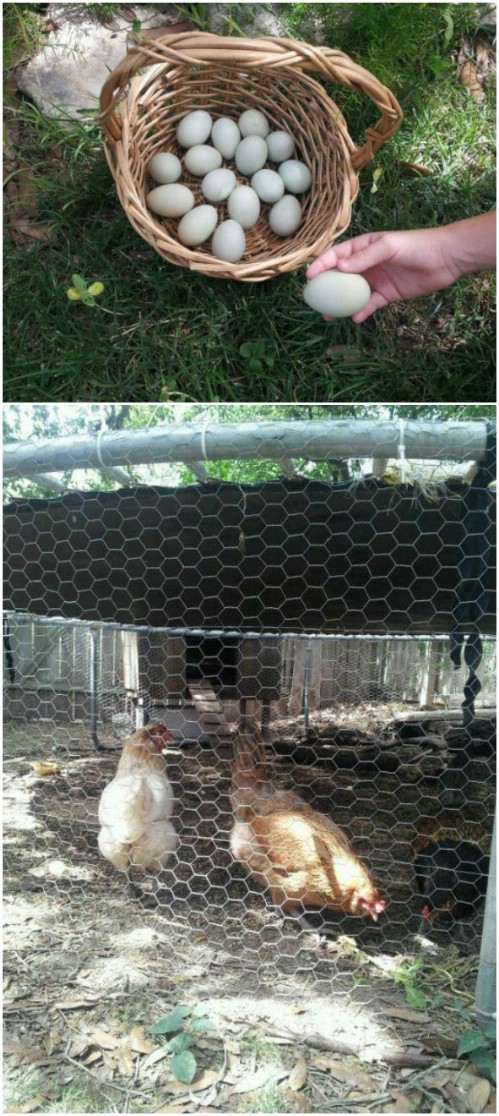 Repurposed Trampoline Chicken Coop