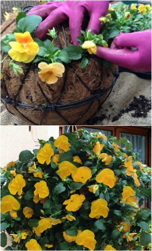 DIY Hanging Pansy Ball