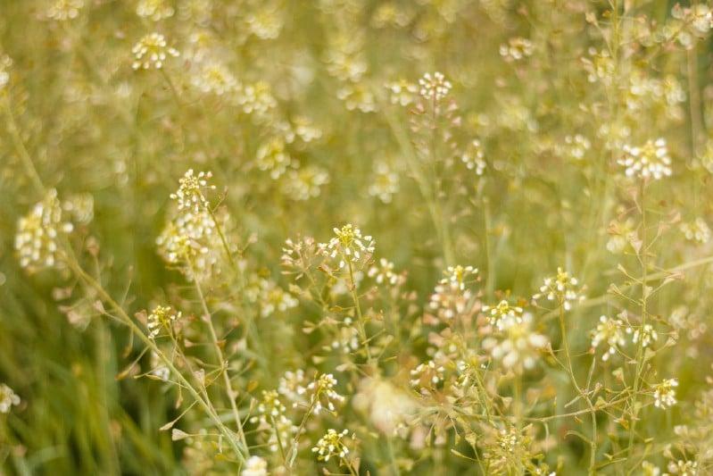 Shepherd's Purse - Edible weeds and wildflowers