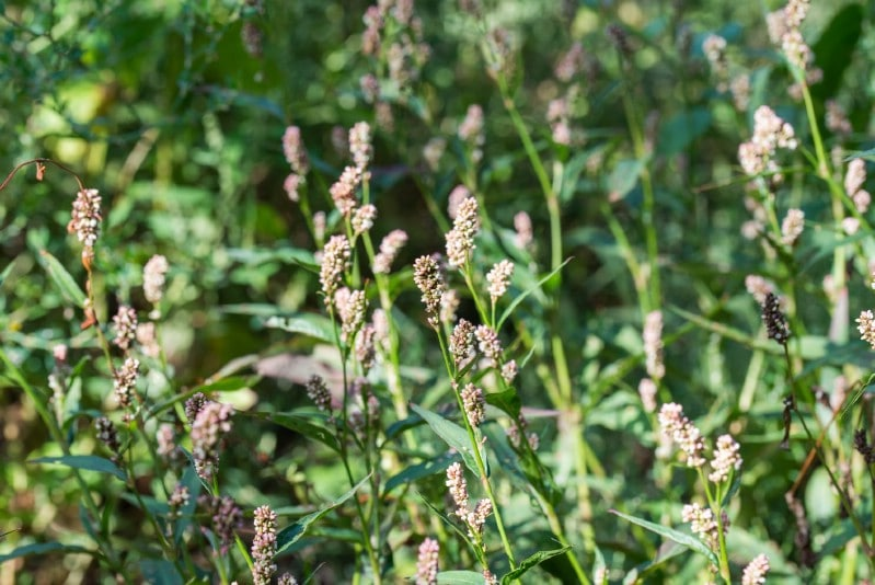 Lady's Thumb - Edible weeds and wildflowers