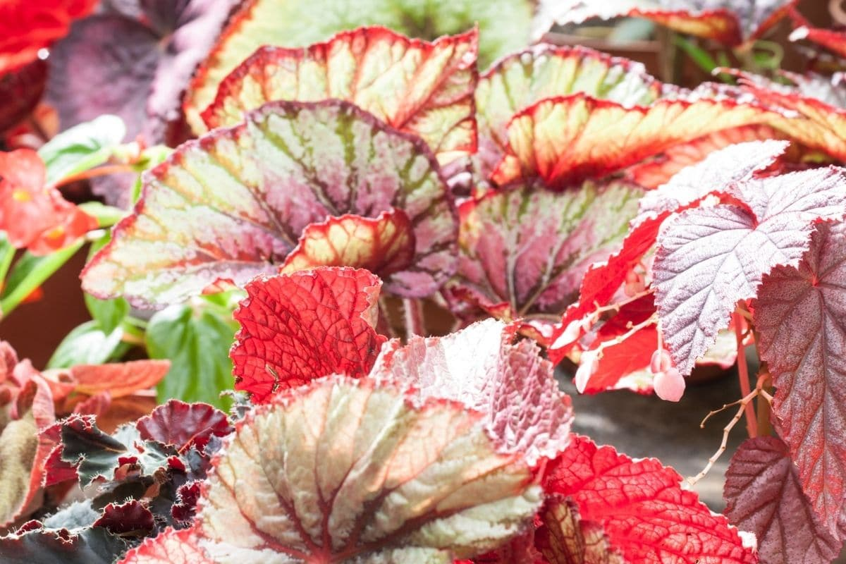 Begonia Ginny Galaxy leaves splashed with shades of pink, silver, and burgundy red