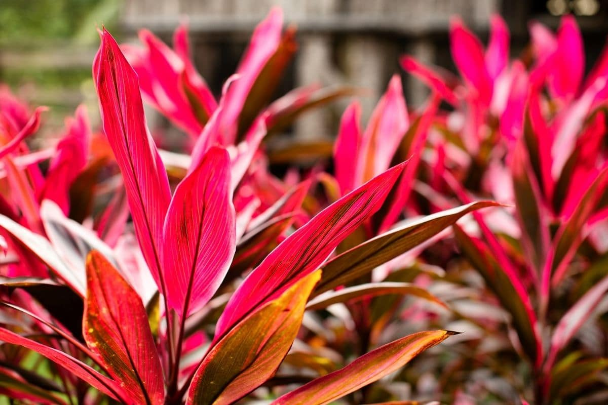 Cordyline fruitcosa with narrowed red leaves growing in the garden